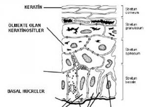ust-deri-epidermis